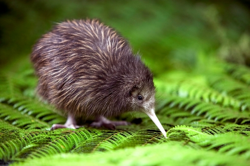 Kiwi 2.jpg
